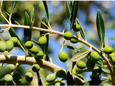 Basic differences between regular olive oil and extra virgin olive oil